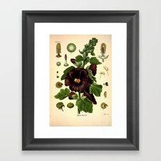 Botanical Print: Mallows / Malvaceae Framed Art Print