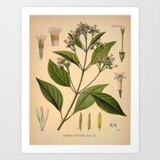 Botanical Print: Coffee Madder / Rubiaceae Art Print