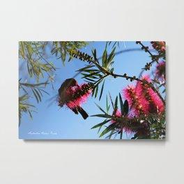 Scarlet Honeyeater Metal Print