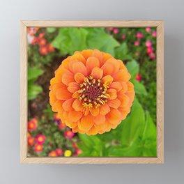Orange Zinnia Framed Mini Art Print