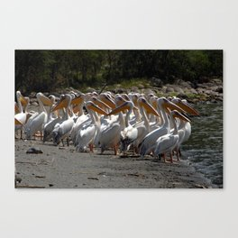 Group of White Pelicans Canvas Print