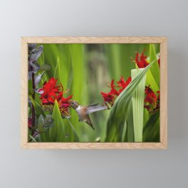 Rufous Hummingbird Feeding, No. 3 Framed Mini Art Print