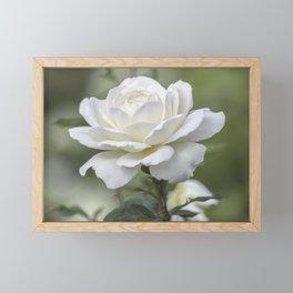 white rose in the garden Framed Mini Art Print