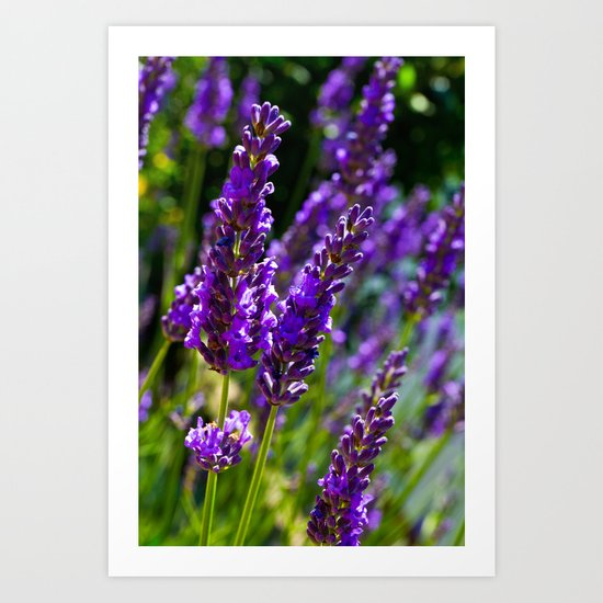Lavender In Summer Art Print