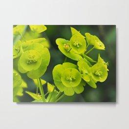 Euphorbia Flowers Metal Print