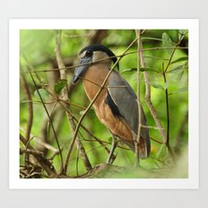 Boat-Billed Heron Art Print