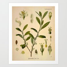 Botanical Print: Coca Plant Art Print