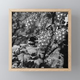 Bumble Bee and Blood Currant Ribes Sanguineum bw Framed Mini Art Print