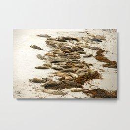 Harbor Seals, Sunset Point, Pebble Beach, California Metal Print