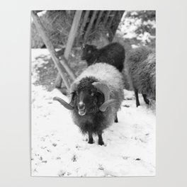 Alpine sheep, black and white photography Poster