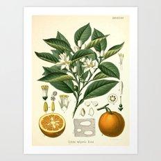Botanical Print: Orange Blossom / Citrus Art Print