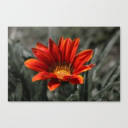 Red Gazania Flower Canvas Print