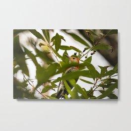 Peaking Woodpecker Metal Print