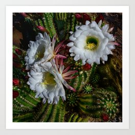 White Argentine_Giant_Cacti in Bloom Art Print