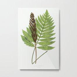 Onoclea Sensibilis (Sensitive Fern) from Ferns  British and Exotic (1856-1860) by Edward Joseph Lowe Metal Print