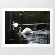 Swans at the pond Art Print