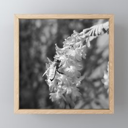 Bee2 and Blood Currant Ribes Sanguineum bw Framed Mini Art Print