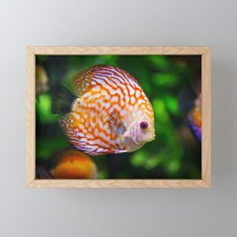 Discus Fish Fauna Symphysodon Framed Mini Art Print