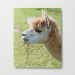 Hey, It's Dinner Time - Alpaca Photography Metal Print