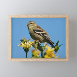 American Goldfinch Framed Mini Art Print