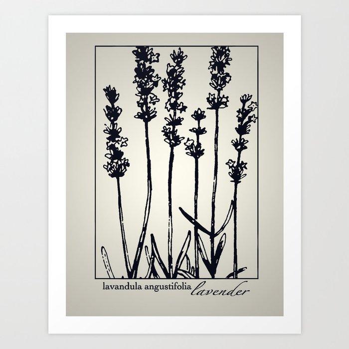 Lavender - Botanical Illustration Collection Art Print