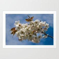 White Cherry Blossom Art Print