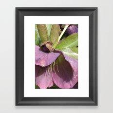 Lenten Rose Framed Art Print