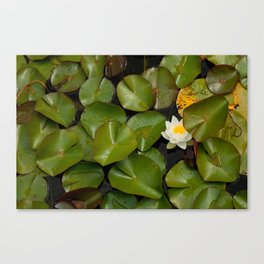 Lone Water Lily Flower Canvas Print