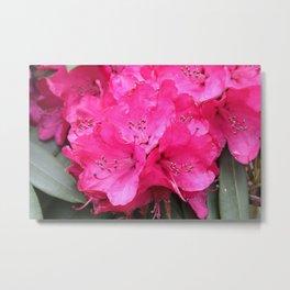 Rhododendron Pink Blooms Metal Print