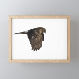 Northern Harrier Hunting, No. 4 Framed Mini Art Print
