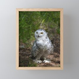 Alaskan Snowy Owl - Summer Framed Mini Art Print