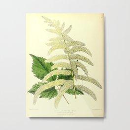 Flower astilbe thumbergii3 Metal Print