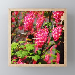 Bumble Bee and Blood Currant Ribes Sanguineum std Framed Mini Art Print