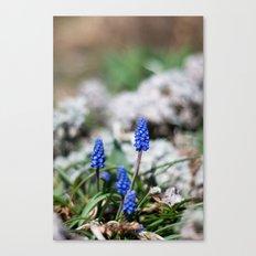Grape Hyacinth III Canvas Print