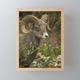 Ram Eating Fireweed cropped Framed Mini Art Print