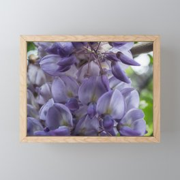 Wisteria sinensis in bloom Framed Mini Art Print