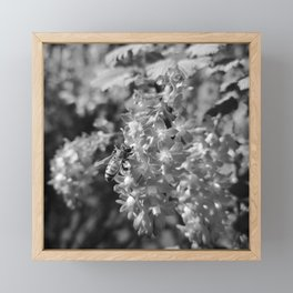 Bee and Blood Currant Ribes Sanguineum bw Framed Mini Art Print