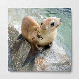 Californian Sea Lion Pup, Monterey, California Metal Print
