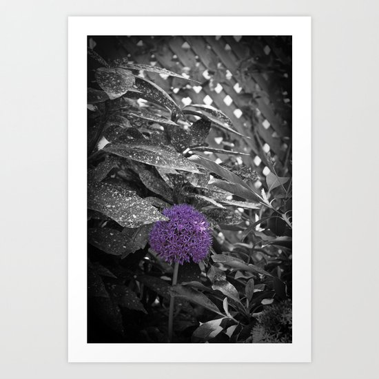 Purple Ornamental Onion Flower Black and White Photo Nature Art Print