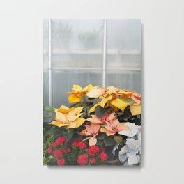 The Poinsettias  //  Euphorbia Pulcherrima Metal Print