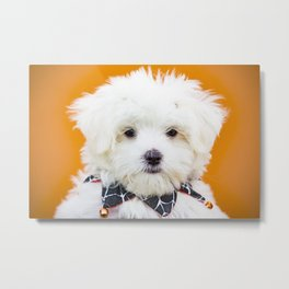 Beautiful White Maltese Wearing a Spider Web Halloween Collar Costume Metal Print