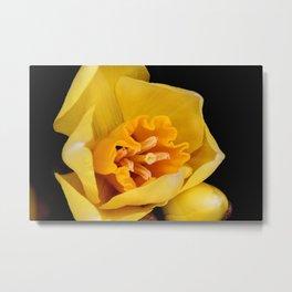 Daffodil or Spring Narcissus Metal Print