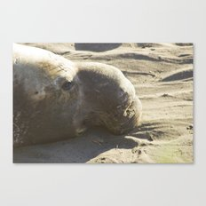 Elephant Seal: Contemplation Canvas Print