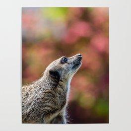 Meerkat. Poster