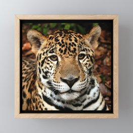 Belizean Jaguar Photograph Framed Mini Art Print