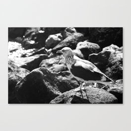Seagull on Rocks Canvas Print