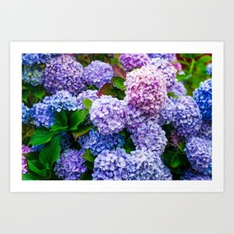Purple Hydrangeas Art Print
