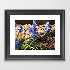 Spring Grapes Framed Art Print