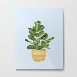 Fiddle Leaf Fig in a Basket- Ficus Lyrata Metal Print