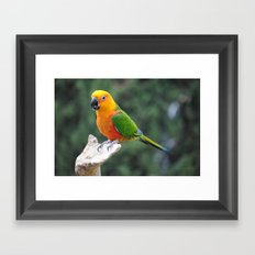 Jenday Conure parrot Framed Art Print